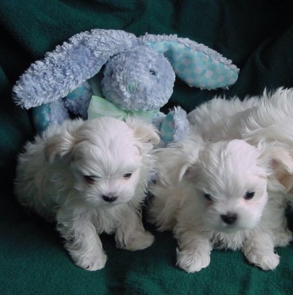 Cheap Puppies on All Text And Photos On This Web Site Is Copyrighted 2006  Richelieu